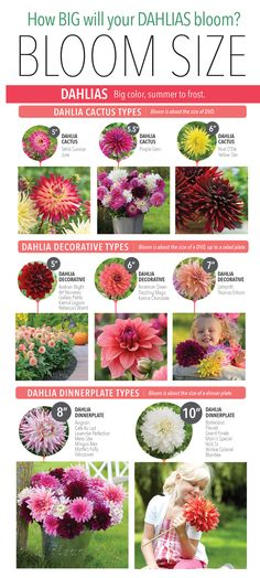 How big will a dahlia flower bloom? Check out this easy guide to Dahlia Bloom Sizes.