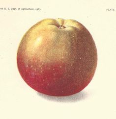 1903 Antique Apple Print Lithograph Book Plate Original Winesap Apple by catladycollectibles on Etsy