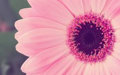 Flowers are the life of nature. And Nature is the life of living beings like us. If there are beautiful flowers plants and tree, we will live in a very good mood. Cute Laptop Wallpaper, Cute Girl Wallpaper, Pink Wallpaper, Flower Wallpaper, Iphone Wallpaper, Pink Gerbera, Pink Flowers, Growing Flowers, Planting Flowers