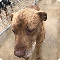 Pictures of Luke a Labrador Retriever for adoption in Lagrange, IN who needs a loving home.