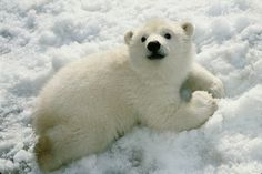 Polar bears use nose-to-nose greetings as a way to ask other bears for something, like food. Bears who use proper manners like this are often allowed to share.