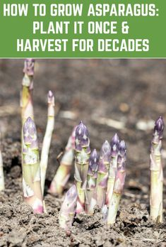 Growing asparagus (Asparagus officinalis) requires patience but boy, is the payoff worth it. Although it takes up to three years to really get going, this perennial plant will produce a bountiful harvest year after year for up to 30 years. Veg Garden, Fruit Garden, Edible Garden, Lawn And Garden, Vegetable Gardening, Growing Plants, Growing Vegetables, Gardening For Beginners, Gardening Tips