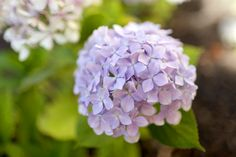 How To Grow Hydrangeas | She Sows Seeds 1