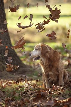 Fall Leaves. Golden retrievers are the best! Goldens. Dogs. Autumn.
