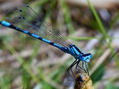Gorgeous Blue Metallic, Black-Striped Dragonfly as it lands on a broken stalk, with its folded wings in position almost as long as its tail. Pictures Images, Free Images, Dragonfly Insect, Animal Facts, Goldfish, Autumn Summer, Predator, Koi, Bugs
