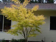 PlantFiles Pictures: Coral Bark Japanese Maple 'Sango kaku' (Acer palmatum) by maplenut Acer Palmatum, Famous Daves, Japanese Maple, Deciduous Trees, Seeds, Coral, Backyard, Plants, Pictures