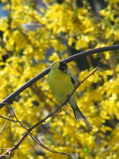 Love the goldfinches in the spring! Goldfinch, Bird Feeders, Gardening, Yellow, Spring, Outdoor Decor, Flowers, Nature, Cute
