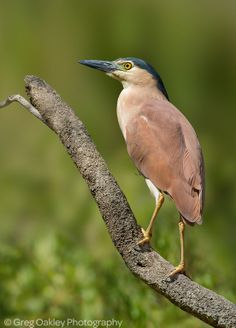 Nycticorax caledonicus - ślepowron rdzawy - Rufous Night Heron/Nankeen Night Heron