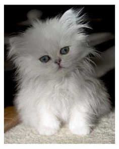 Teacup Cats - Miniature or Toy Cats... Teacup cats or so-called ...