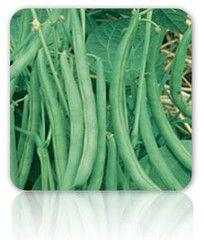Bean - Contender (Bush) - 50 seeds $.99