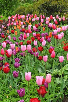 Technicolour Tulip Collection - Put a zing into your spring with the riot of colour and texture in this collection of tulips. Ideal in beds, borders or pots they will brighten up your garden in April and May. Also good for naturalising, these tulips will coat your garden in glorious technicolour. Bring them inside too as they make great cut flowers for the vase which is one of the best ways to enjoy the delightful scent of tulip 'Ballerina' up close.