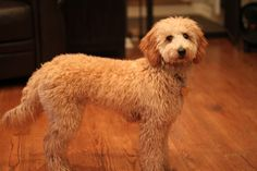 Angel at 8 months old, red apricot Goldendoodle puppy by Jada of River Valley Doodles