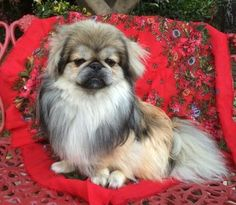 Meet Bonzai a Petfinder adoptable Pekingese Dog | Corona Del Mar, CA | IF INTERESTED IN MEETING ONE OF OUR DOGS, PLEASE SEE OUR WEBSITE FOR AN ADOPTION APPLICATION AT...