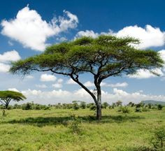 African Acacia Tree | Green defence: A flat topped African acacia tree. Credit: iStockphoto
