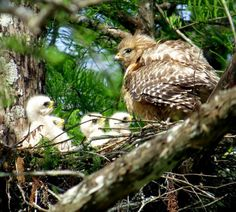 Red shouldered hawk and babies.