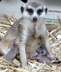 Penelope the meerkat nurses her babies at the Calgary Zoo in Alberta, Canada. She sure looks like a natural!