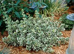 Emerald Gaiety Euonymus. Size: 4' H x 4' W. Growth rate: fast. 6+ hours direct sun per day.  Cold hardiness: -10 to -20F. Pruning: prune to control growth. Fertilization: spring and summer. Water: semi-moist. Spacing: 4'.