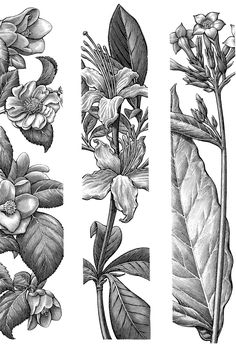 Fantastic Totally Free Botanical Gardens flowers Tips Vince plus We recognized your 4 twelve months house warming by means of paying the time on the Huntington, the. Gravure Illustration, Pen Illustration, Botanical Illustration, Illustrations, Ny Botanical Garden, Botanical Art, Art Sketches, Art Drawings, Tattoo Drawings