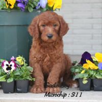 Irish Golden doodle... oh so hopeful these are hypoallergenic and we can get one some day!!