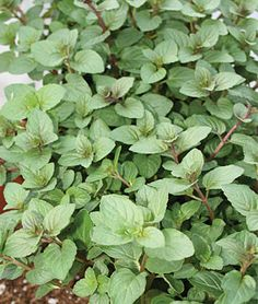 Mint Seeds and Plants - Spearmint is perhaps the best-loved of all the mints. This herb bears lavender flowers in late spring and its leaves are dark green and pointed. Find Peppermint and Spearmint herbs at Burpee. Peppermint Tea Benefits, Peppermint Plants, Container Plants, Container Gardening, Organic Plants, Organic Gardening, Gardening Tips, Gardening Services, Mint