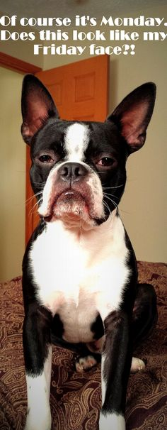 """Of course it's Monday. Does this look like my Friday face?!"" #dogs #pets #BostonTerriers facebook.com/sodoggonefunny"