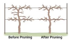 Nikki Tilley In addition to support, pruning grapes is a vital part of their overall health. Regular pruning is essential for controlling grape canes and producing quality fruit yields. Read this article to learn how to prune grapes.