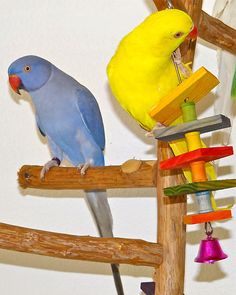 Violet Indian Ringneck named Lavender and Lutino Indian Ringneck named Daffodil