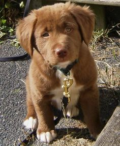 i want him. chocolate lab, husky, and shepherd mix.