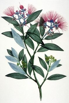 Metrosideros Excelsa --- New Zealand - Curtis's bot. 2350 The Endeavour botanical illustrations - artist Gabriel Smith Australian Painting, Australian Art, Botanical Drawings, Botanical Prints, Australian Flowers, Australian Wildflowers, Native Tattoos, Illustration Blume, Realistic Drawings