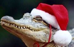 Acting like animals christmas crocodile hat merry christmas santa santa hat - 4285803776 Funny Pictures Tumblr, Cute Pictures, Like Animals, Cute Baby Animals, Cutest Picture Ever, Silly Dogs, Reptiles And Amphibians, Baby Puppies, Exotic Pets