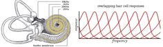cochlea-and-responses