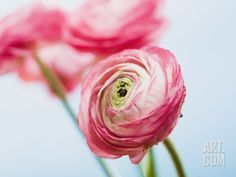 Pink ranunculus Photographic Print by Ada Summer at Art.com