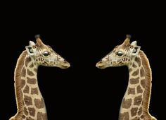 giraffes by georgina gomez
