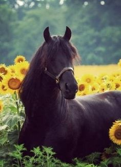 View of a horse amongst the sunflower grove! Kiddo's love horse pictures!