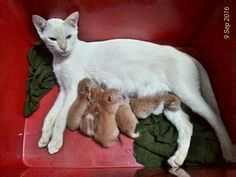 My lovely Albino 'Snowy' with her gingers kittens.