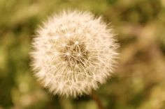 Antique Close-Up of Dandelion Wish - 8x10 - Photograph. $12.95, by PickaPic via Etsy.