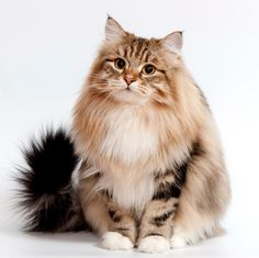 Hottest Cost-Free Cat Breeds siberian Style : Some individuals imagine that pet cats are simply kittens and cats, understanding that all are the same. Siberian Forest Cat, Siberian Husky Dog, Cute Cats And Kittens, Cool Cats, Cat Toilet Training, Norwegian Forest Cat, Maine Coon Cats, Beautiful Cats, Cat Breeds