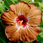 Exotic Hibiscus 'Mother Nature'