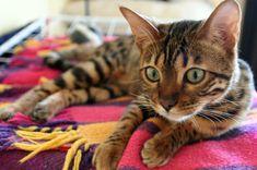 Il Bengala è un perfetto mix tra selvatico e domestico. Bello come un leopardo, ma piccolo come un gatto, nato proprio dall'incrocio del grande felino e del gatto domestico. Nato per caso, con lo scopo di creare una razza immune alla leucemia, il Bengala è di taglia grossa, tra i 6 e i 9 chili ed ha un carattere molto forte che può richiamare il leopardo che è in lui.