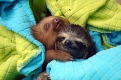 Two baby sloths hugging.