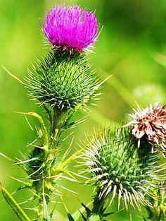 Armurariu Ficat Healthy Nutrition, Weed, Natural Remedies, Herbalism, Dandelion, Healing, Herbs, Cancer, Flowers