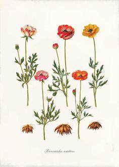 botanical prints Antique Primula Fine Art Print  - 5 x 7 - Ranunculus Asiaticus. $10.00, via Etsy.