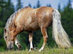 pictures of palomino horses Rare Horses, Wild Horses, Black Horses, Most Beautiful Animals, Beautiful Horses, Simply Beautiful, Beautiful Creatures, Rare Horse Breeds, Horses