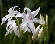 Lillies in Full Bloom