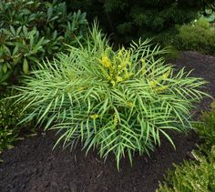 Mahonia 'Soft Caress'. A new plant with soft foliage. Good in shade.