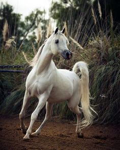 Om El Al Azeem was crowned US Reserve National Champion Stallion in 2010. He was also World Cup Champion 4 year old Stallion and World Cup Supreme Champion Amateur Stallion. #ArabianHorses