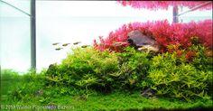 dutch style aquascape aquarium, beautiful class aquarium idea, soothing visual space