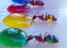 The saying 'you are what you eat' is true for these insects as stunning pictures show their abdomens changing colour as they sip on sugar drops.