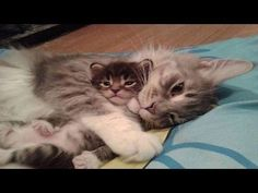 Delightful Kittens Talking and Playing With Their Mama - We Love Cats and Kittens