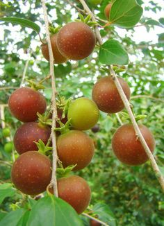 Tropical apricot (Dovyalis abyssinica): it has spots